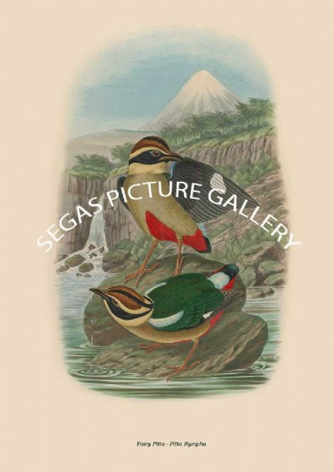 Fine art print of the Fairy Pitta - Pitta Nympha by artist's Joseph Wolf and Joseph Smit (1893-95)